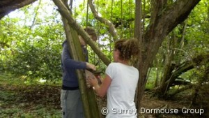 Volunteers checking a dormouse box