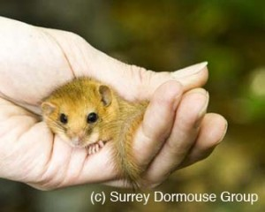 Holding a dormouse